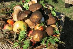 La raccolta dei funghi a Putifigari